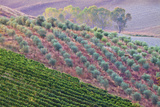 Olive Grove on the Rolling Hills of Tuscany