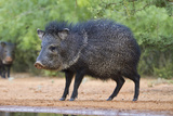 Starr County  Texas Collared Peccary in Thorn Brush Habitat