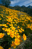 Spring  Mexican Gold Poppies Bloom in Saguaro National Park  Tucson  Arizona