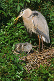 Florida  Venice  Great Blue Heron at Nest with Two Baby Chicks in Nest