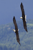 Bald Eagle Pair  Courtship Flight