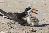 Port Isabel  Texas Black Skimmers at Nest