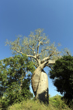 Madagascar  Morondava  Baobab Alley  Lovers Baobab  Le Baobab Amoureux
