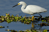 Florida  Immokalee  Snowy Egret Hunting