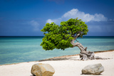 Weathered Fofoti Tree on the Beach of Aruba  West Indies
