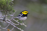 Kinney County  Texas Golden Cheeked Warbler in Juniper Thicket