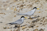 Port Isabel  Texas Least Tern Beside Egg at Nest Colony