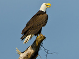 Florida  North Fort Meyers  Bayshore Drive  Bald Eagle Screaming