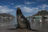 Cape Fur Seal  Hout Bay Harbor  Western Cape  South Africa
