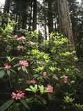 California  Del Norte Redwood Sp  Rhododendron in Coast Redwood Forest