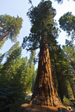 California  Yosemite National Park  Mariposa Grove of Giant Sequoia  the Colombia