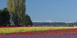 Washington  Skagit Valley  Mount Vernon Tulip Field with the Olympics