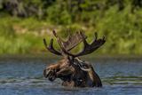 Bull Moose Feeding in Backcountry Lake in Glacier National Park  Montana  USA