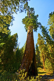 California  Sequoia  Kings Canyon National Park  General Grant Tree