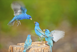 Florida  Immokalee  Indigo Buntings Fighting at Feeder Log
