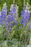 Lupine Wildflowers in Glacier National Park  Montana  USA