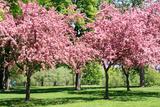 Blooming Cherry Garden