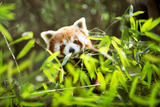 Young Red Panda