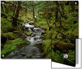 Creek in Temperate Rainforest Along Eyak Lake  Cordova  Alaska