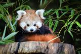 Red Panda Papier Photo par _jure