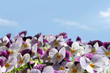 Viola or Pansy Flowers and Sky