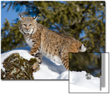 Bobcat (Lynx Rufus) in the Snow  Kalispell  Montana