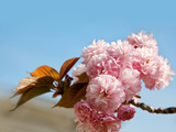 Beautiful Cherry Tree Flowers  Pink Bloom  Spring Flowers Background  Spring Cherry Blossoms