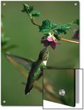 Rufous Hummingbird (Selasphorus Rufus) and Salmonberry (Rubus Spectabilis) Flower  Cordova  Alaska