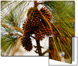 Cluster of Long Leaf Pine Needles and Cones