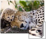 Cheetah (Acinonyx Jubatus) Mother and Seven Day Old Cub  Maasai Mara Reserve  Kenya