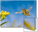 Leaf-Cutting Bee (Megachile Sp) and Goldenrod Flower (Solidago Sp)  North America