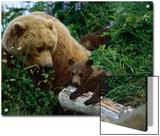 Grizzly Bear (Ursus Arctos Horribilis) Mother and Cubs  Katmai Nat'l Park  Alaska