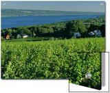 Vineyard Along the Finger Lakes