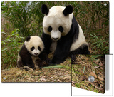 Giant Panda (Ailuropoda Melanoleuca) Adult  Wolong Nature Reserve  China