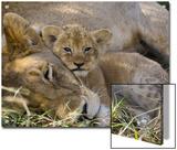 African Lion (Panthera Leo) Mother Resting with Cub  Vulnerable  Masai Mara Nat'l Reserve  Kenya