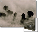 Silhouettes in the Mist  American Bison Search for Food  Midway Geyser Basin  Yellowstone  Wyoming