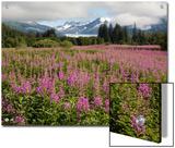 Meadow of Blooming Fireweed Frames Mendenhall Glacier  Juneau  Alaska