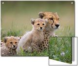 Cheetah (Acinonyx Jubatus) Mother and Eight to Nine Week Old Cubs  Maasai Mara Reserve  Kenya