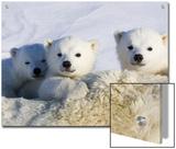 Polar Bear (Ursus Maritimus) Cubs Peeking over Mother  Wapusk Nat'l Park  Manitoba  Canada
