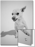 Chihuahua Dog Snarling