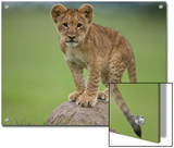 African Lion Cub  Panthera Leo  Standing on a Mound of Soil