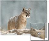 Mountain Lion or Cougar (Felis Concolor) Standing in Snow Bank  Montana