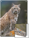 Bobcat (Lynx Rufus) Mother and Kitten  North America