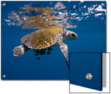 A Sea Turtle Offers Some Protection to Small Fish in the Open Ocean