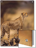 Cheetah (Acinonyx Jubatus) Mother With  Adolescents  Samburu National Reserve  Kenya