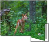 White-Tailed Deer (Odocoileus Virginianus) Fawn with Spots in Forest  North America