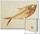 Fish Fossil  Diplomystus Dentatus  from the Eocene Period  Australia