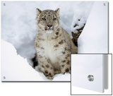 Snow Leopard (Uncia Uncia) Adult Portrait in Snow  Endangered  Native to Asia