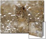 Bobcat (Lynx Rufus) Camouflaged in Snowy Meadow  Montana