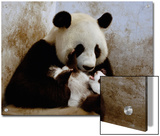Giant Panda (Ailuropoda Melanoleuca) Caring for Cub  Wolong Nature Reserve  China